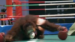 La triste vida de orangutanes en un zoo