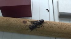 Peleas de escarabajos
