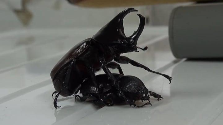 El casquete del escarabajo ganador