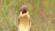 Una cobra Real
