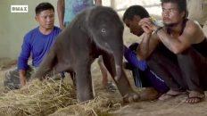 Los primeros minutos de vida de una bebé elefante