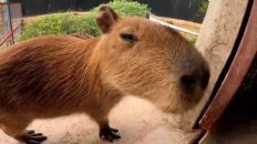 Un cerdo ladron, un puercoespin okupa y una nutria molestona