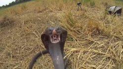 Cobras de Tailandia