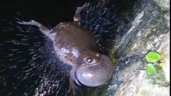 Una rana ninja que muerde