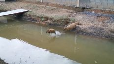 Chispas y Capi... Los saltarines del agua