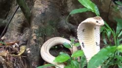 Libertad y esperanza - Dos cobras que van para la selva