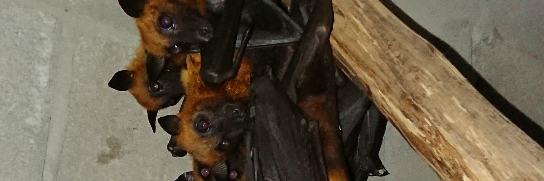Murciélagos, Libertad sin licencias