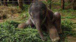 Nacimiento de un bebé elefante