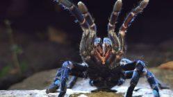 Tarantula azul