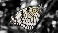 Una mariposa, posa, posa